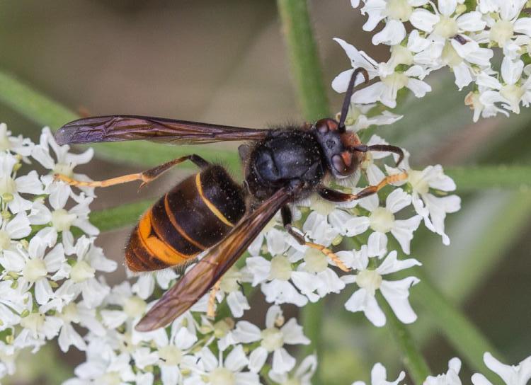 Asian Hornet (BWARS)