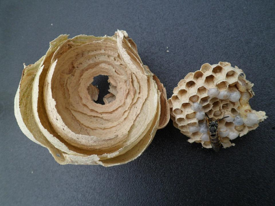 Wasp nest of Vespula vulgaris
