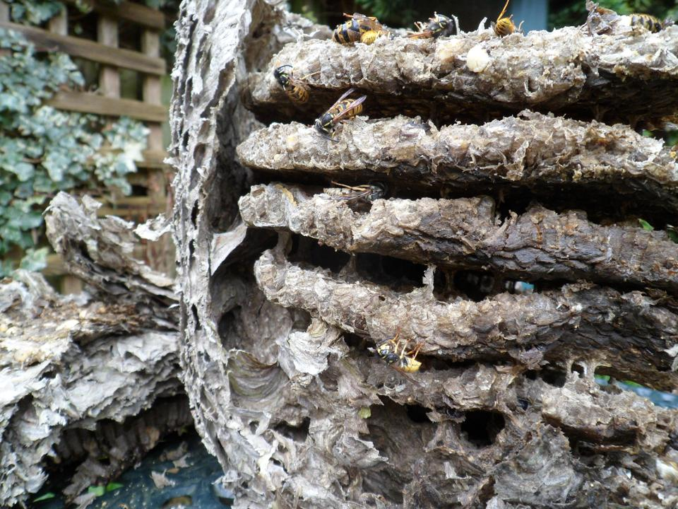 Wasp nest - cut side and layers