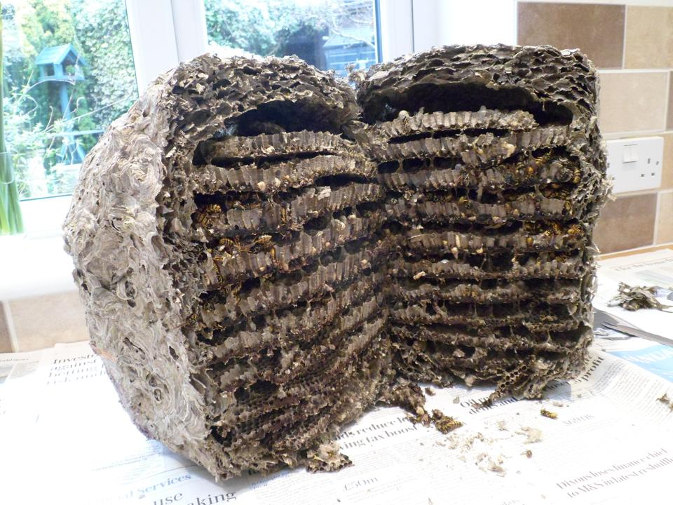 Wasp nest - two halves