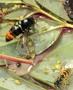 Asian Hornet and Wasp