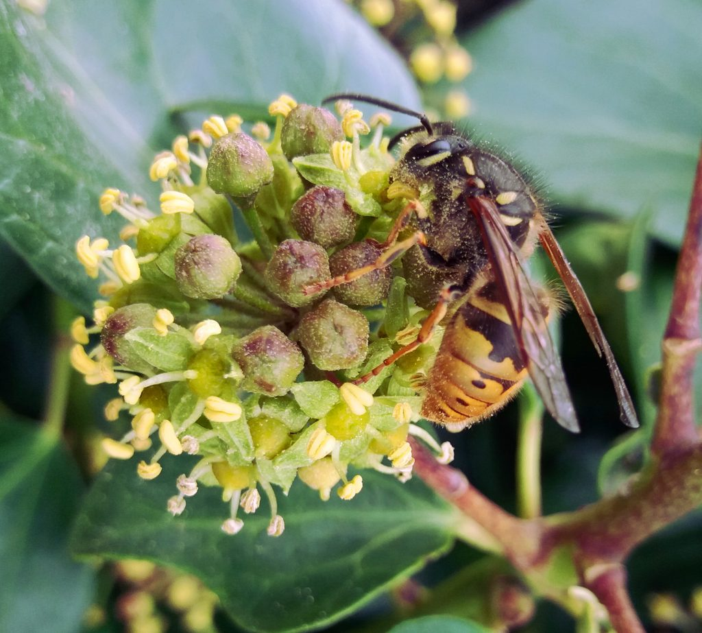 Wasp feeding on Ivy in late Autumn